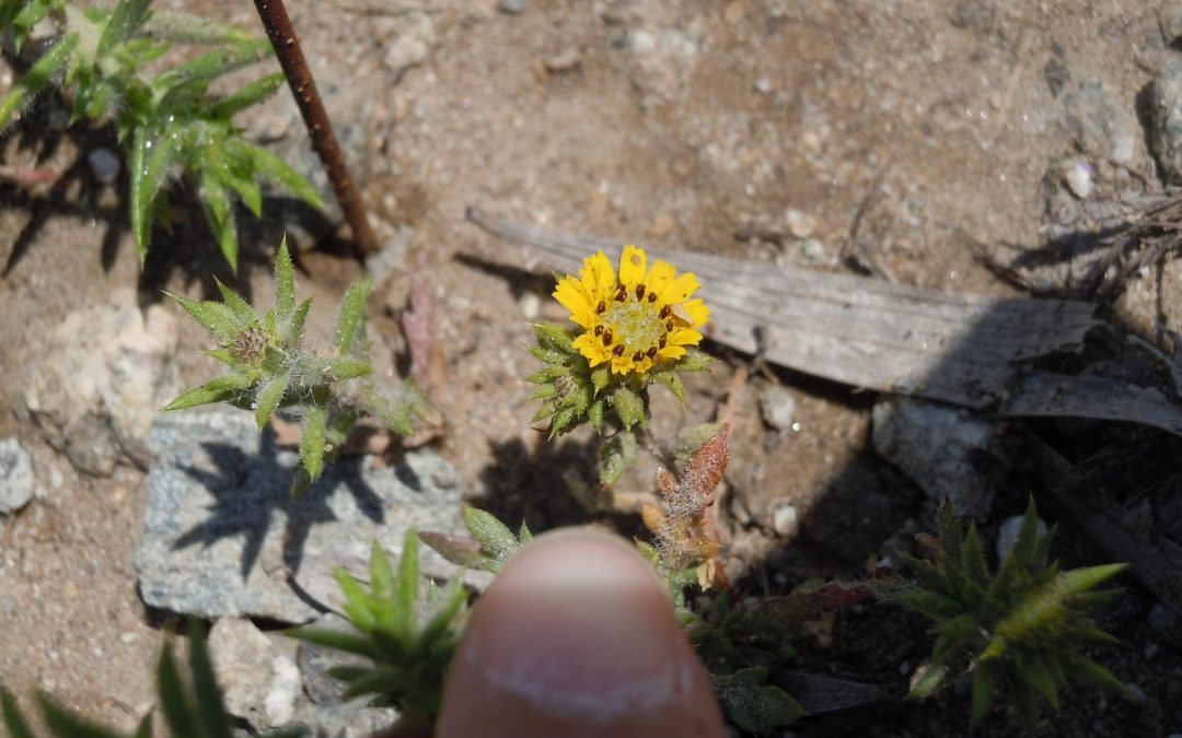 Tarplant Mitigation and Restoration